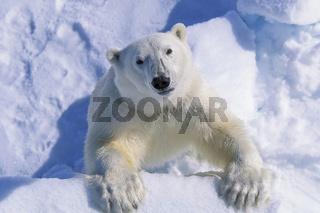 adult Polar bear, ausgewachsener Eisbaer, Eisbaer, Ursus maritimus, in summer, Spitzbergen, Svalbard