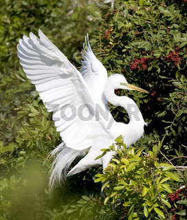 eidenreiher, Silberreiher, ardea alba, American Egret, Common Egret, Great Egret, Great White Egret, Great White Heron, Greater Egret, Large Egret, White Egret, White Heron