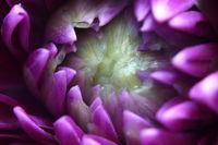 Supermacro einer violetten Blume