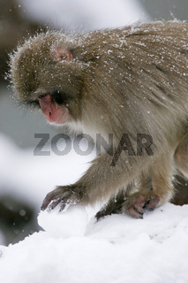 schneeaffe, rotgesichtsmakak, japanmakak, macaca fuscata, japanese macaque, snow monkey , deutschland, germany