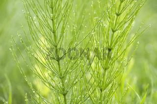 Common Horsetail | Acker-Schachtelhalm / Zinnkraut