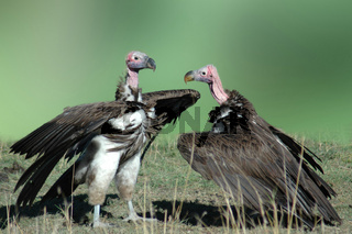 geier, aegypiinae cathartidae, vulture