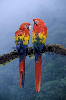 hellroter ara, ara macao, scarlet macaw