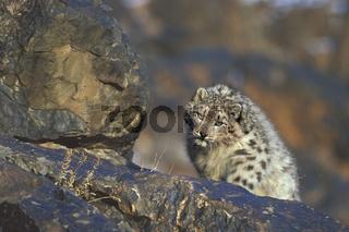 Snow leopard, Panthera uncia, authentic wild, Schneeleopard, Altai Mountains, Mongolia