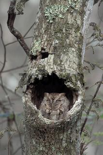 Kreischeule, ostkreischeule, ost-kreischeule, megascops asio, strix asio, easterb screch owl, common screech owl, common screech-owl, eastern screech owl, eastern screech-owl, florida screech owl, mccall's screech owl, mottled owl