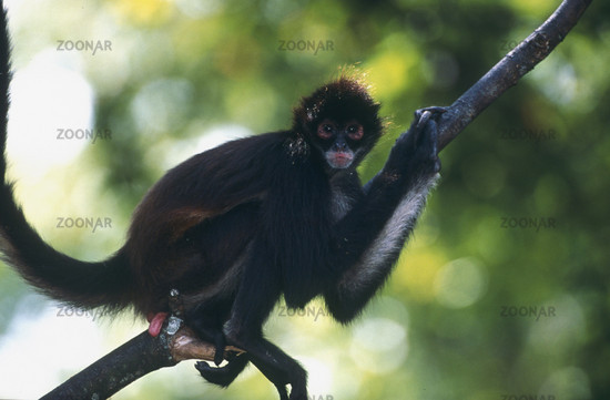 suedlicher spinnnenaffe, brachyteles hypoxanthus, southern muriqui, mono carvoeiro, charcoal monkey belize, mittelamerika, central america belize, mittelamerika, central america