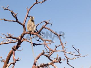 Affe auf Baum