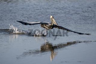 braunpelikan, meerespelikan, pelecanus occidentalis, brown pelican