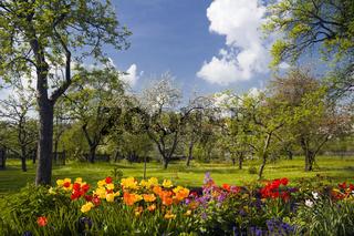Tulpen im Obstgarten
