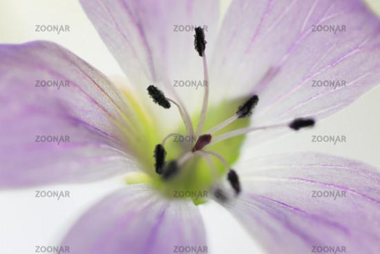 gaellivare, wiesen-storchschnabel, geranium pratense,gaellivare, wiesen-storchschnabel, geranium pratense, lapland, lappland, sweden, schweden, swedish lapland,
