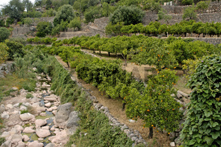 Zitrone (Citrus limon) und Orange (Citrus sinensis), reife Fruechte am Baum, Mallorca, Balearen, Spanien, Spain