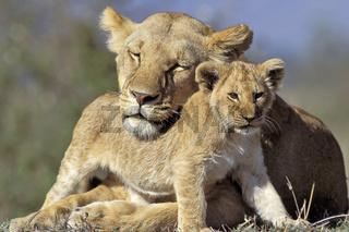 Lion and cub, Lioness, Loewe, loewin und junges, Panthera leo, Masai Mara, Kenya, kenia