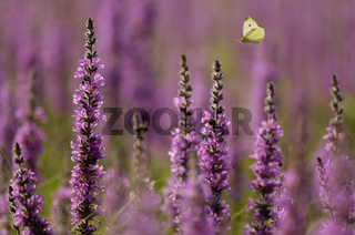 Blutweiderich, Lythrum salicaria, purple loosestrife, purple lythrum, salicaire commune