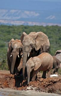 Afrikanische Elefanten am Wasserloch, Südafrika