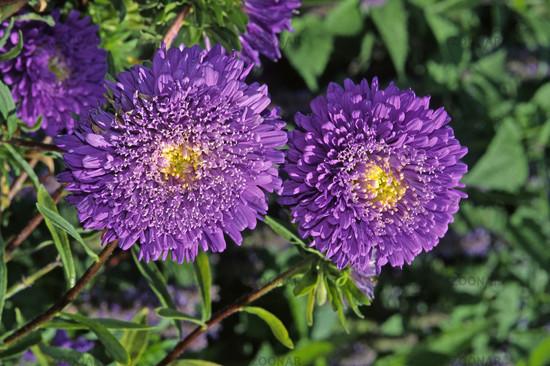 Callistephus chinensis 'Strahlen Blau' Sommer-Aster