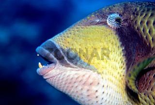 Riesendrueckerfisch