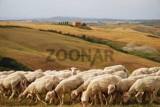 Schafe in der Toskana, Sheep in Tuscany