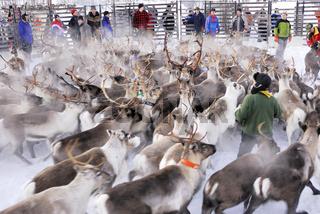 reindeer, rentier, rangifer tarandus , norrbotten, lapland, lappland, sweden, schweden, , fence, gate, zaun, gatter,