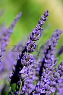 Lavendel (Lavandula angustifolia)
