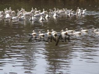 Enten und Gaense
