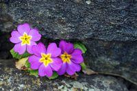 Blume im Stein