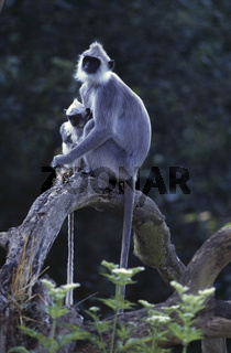 ceylonhulman, ceylon-hulman, presbytis entellus priam, entellus langur of ceylon