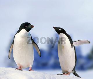 pinguin, spheniscidae, penguin