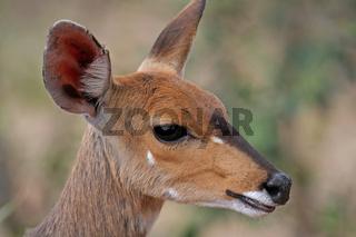 Impala, Südafrika, wildlife