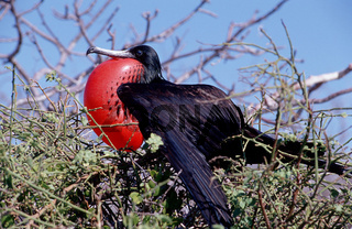 bindenfregattvogel, fregata minor, great frigatebird