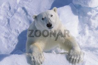 Polar bear, Eisbär, Ursus maritimus, Spitzbergen, Svalbard, Norway