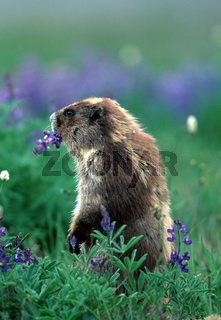 Graues Murmeltier,  Marmota marmota caligata, Hoary Marmot, Olympin NP, Washington, USA