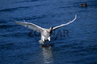 trompeterschwan, cygnus buccinator, trumpeter swan, Bugler Swan, Trumpeter Swan