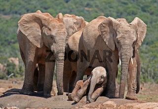 Elefanten mit Jungtier, Südafrika, wildlife