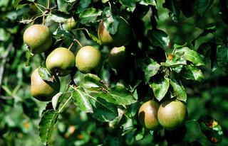 birne, birnen, pyrus, pear, poire, peral,