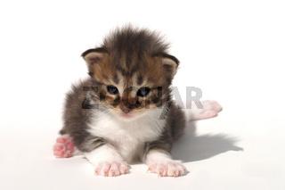 Maine Coon Kaetzchen, Kitten, young Cat