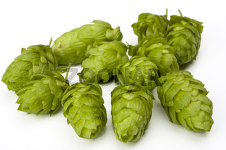 fresh green hop fruit detail isolated on white