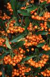 Feuerdorn, Pyracantha coccinea, Brennender Busch, firethorn, buisson ardent, espinos de fuego