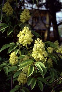 Sambucus racemosa, Roter Holunder, Elder