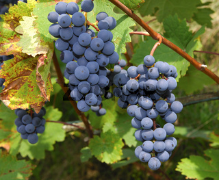 Blaue Weintrauben