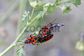 Pyrrhocoris apterus, Feuerwanze