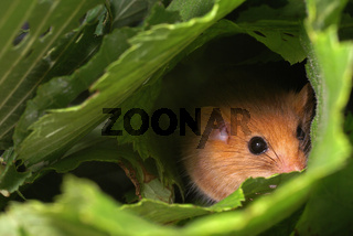 Haselmaus, Hazel Dormouse, muscardinus avellanarius, germany