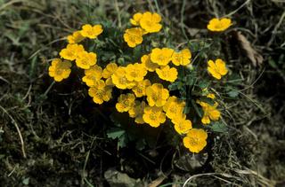 fingerkraut, potentilla, fruehlings-fingerkraut, potentilla neumanniana, spring cinquefoil, potentille du printemps