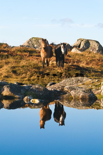 Connemara Ponys
