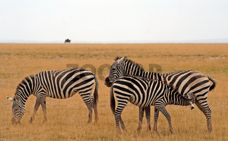 Zebras im Amboseli Nationalpark Kenia, wildlife