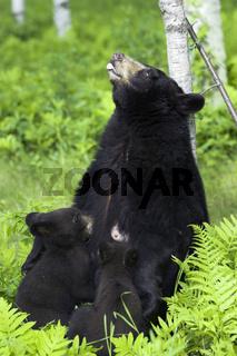 Amerikanischer Schwarzbaer, Baribal, Ursus americanus, Black Bear, Minnesota, USA