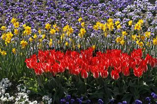 Tulipa & Narcissus, Tulpen und Osterglocken