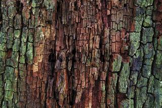 eiche,eichen,  quercus, oak, oaktree, roble, chene, laubbaum, laubbaeume,eicheln, eichenlaub, eichenzweig, stiel-eiche, quercus rubor,  Baumrinde