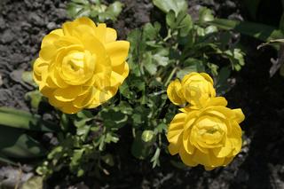 Yellow Begonia tuberosa | Gelbe Knollenbegonie