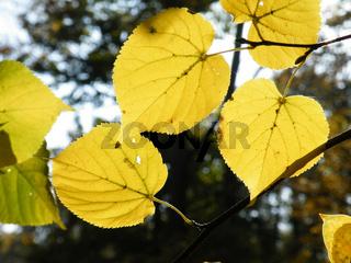 Tilia cordata, Winterlinde, Lime tree