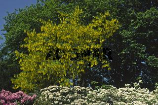 Laburnum anagyroides, Gemeiner Goldregen